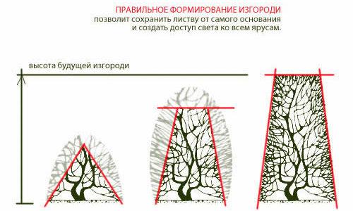 Схема стрижки из ели.