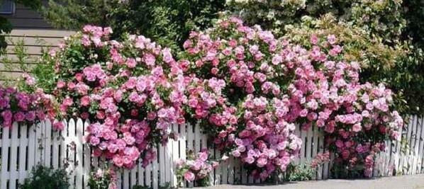 Розовые кусты на дачном участке