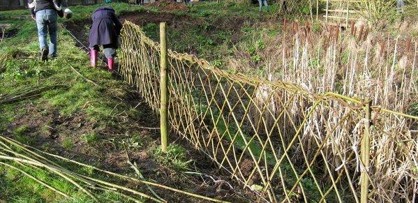 Формирование живой изгороди из ивы